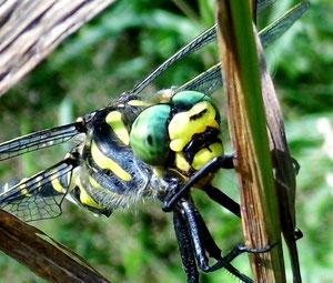 faszination libelle naturbeobachtungen im odenwald und ried schmetterlinge libellen. Black Bedroom Furniture Sets. Home Design Ideas