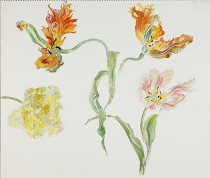 Wilted Tulips 萎れていくチューリップ, Apricot Parrot, (Pencil drawing, Watercolor painting,Dessin)