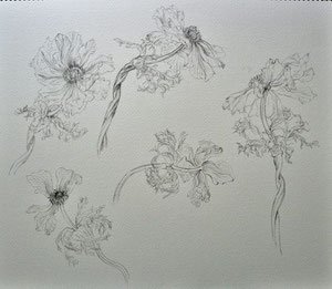 Wilthering Anemones (Pencil drawing,dessin)