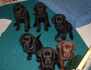 unsere 6 Welpen aus dem A-Wurf (August 2012) kurz vor Abgabe an ihre neuen Besitzer (neunte Lebenswoche)