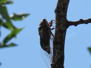 Цикада на ветке фисташки