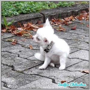 Chi-Love.de | Der 1. Spaziergang mit Deinem Chihuahua-Welpen | Foto: Swiffer Chihuahua