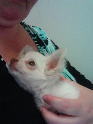 Chi-Love.de | Swiffer Chihuahua | Ein Welpe zieht ein