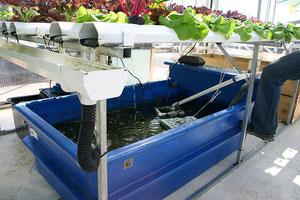 Eine kleine Aquaponic-Anlage (Foto: Ryan Soma)