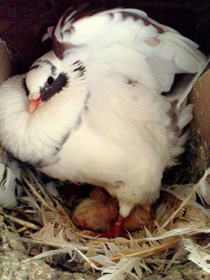 Un Pigeon Mâle défend ses petits