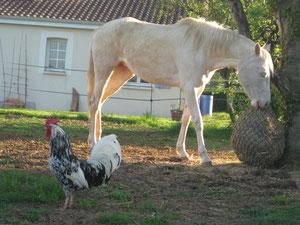 Uline du Jardinet et le coq
