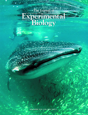 Whale shark feeding in Holbox, Mexico. JEB cover shot (2011). Photo by Louise Murray.
