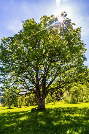 Ahornbaum am Bögrainhof