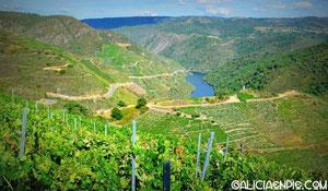 """Solanas de los Cañones del Sil, con viñedos en terraza de la  variedad """"Mencía"""""""