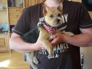 Aktuelles 2016 Norwich Terrier Of Humans Best Friend