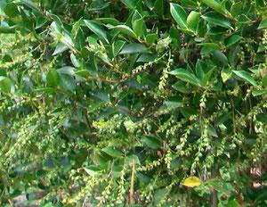 シャシャンボの種子