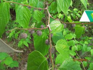 ヒメコウゾの葉と実