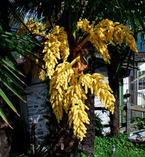Tessinerpalme männliche Blüten