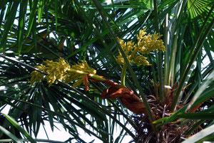 Tessinerpalme weibliche Blüten