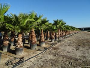 washingtonia robusta pettticoat palme palmen schartners webseite. Black Bedroom Furniture Sets. Home Design Ideas