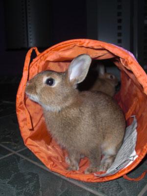 Auch Schoko kann schon den Tunnel