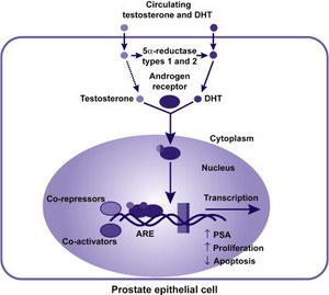 Этиология ДГПЖ. Роль дигидротестостерона.