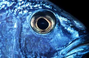 scianochromis alhi