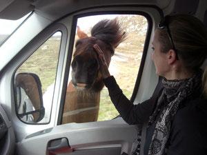 Die Pferde wollen uns aufhalten... gar nicht so einfach, so einen großen Pferdekopf wieder aus dem Busfenster herauszuschieben...