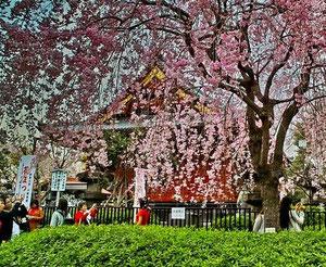 寛永寺のしだれ桜です!