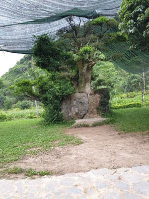 1000 Jahre alter Baum im Bird Park bei Tam Coc