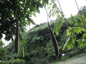 藤の木の実。おもしろい。