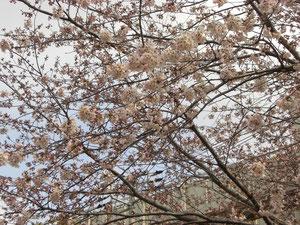みつわ台の桜