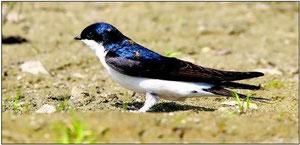 Auf Wohnungssuche: Die Mehlschwalbe (Foto: NABU)