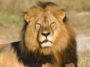 More and more airlines embargo the transport of hunting trophies like Cecil the Lion.