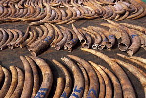 No more ivory tusks on THAI flights  -  source: private