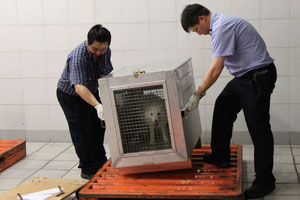 Hong Kong ground handler HACTL starts loading the first fox onto Air Canada's Boeing 777-200  -  courtesy HACTL