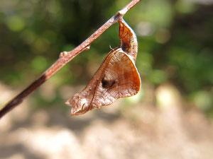 枯葉に擬態したホシミスジの蛹