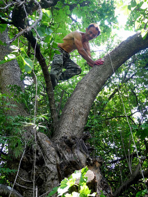 Maulbeerbaum, schwarz