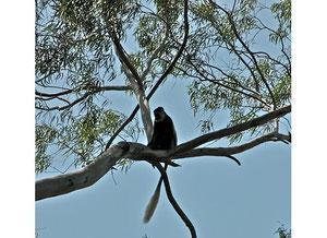 Der Colobus Affe - ein häufiger Beobachter der Kaffee-Ernte