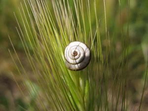 Diese kleine Schnecke ist nicht größer als einen halben Zentimeter. -  © Traudi