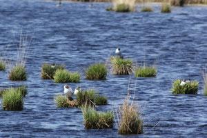Lachmöwenkolonie im Stapeler Moor