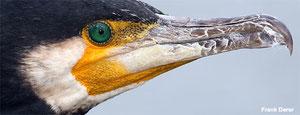 Die grünen Augen erinnern an Edelsteine, Foto F. Derer
