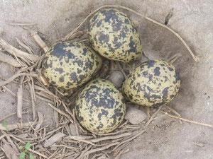 Je 4 Eier befanden sich in den Nestern, Foto: H. Lobensteiner