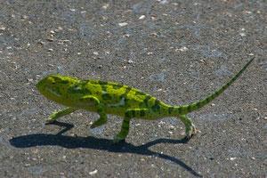 Chamäleon beim Überqueren der Straße