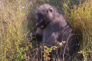 Bärenpavian