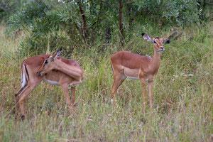 Zwei Impalas