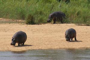 Flusspferde von der Terrasse unseres Zeltes in Lower Sabi gesehen