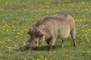 Warzenschwein auf blühender Wiese