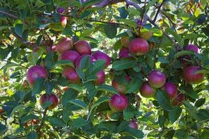 Äpfel am Ontario See
