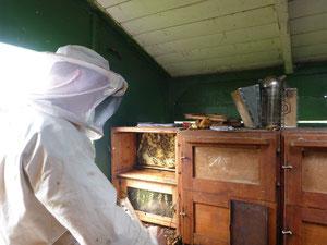 Friedrich Rosenthal beim Entnehmen der Honigwaben zu Ernte des Honigs. Die Bienen sind friedlich. Der Frühtrachthonig ist in diesem Jahr reichlich vorhanden.