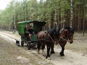 Friedrich Rosenthal mit den Pferden auf dem Ökohof Fläming Rubinia und Elfi, beides Kaltblüter, vor der Kutsche. Der Kremser ist auch noch heute im Einsatz und hat schon einige Abenteuer mitgemacht.
