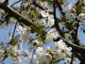 Eine Honigbiene sitzt in einer Blüte des Kirschbaums auf unserem Hof. Sie wird reichlich Nektar finden.