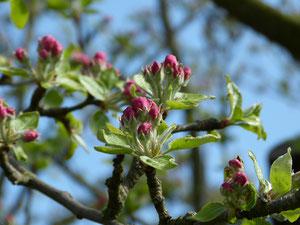 Auch der Apfelbaum steht dieses Jahr schon außergewöhnlich früh am Start und wird schon bald für die Honigbienen auf dem Ökohof Fläming Nektarspender sein.