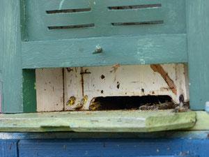 Zahlreiche Honigbienen kehren mit gelben Pollen der Hasel zurück.