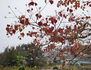ナンキンハゼ 紅葉